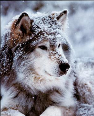 Lobos en peligro de extincion